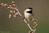 Chickadee on pussywillows