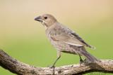 Cowbird (female)