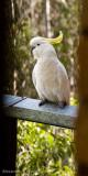 Cockatoo visit