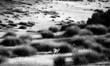 Wallaby jump
