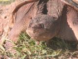 Tortue - 070614 - Turtle