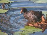 Gallinule - Toilettage - 070807 - Preening of a Common Moorhen