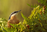 European Nuthatch - Boomklever