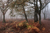 Oak forest, fog - Eikenbos, mist