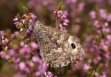 Heivlinder - Grayling