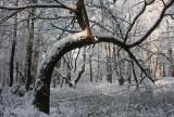Kromme Eik, sneeuw - Curved Oak, snow