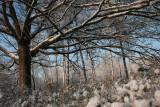 Eik, sneeuw - Oak, snow