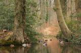 Brook and mallards - Beek met wilde eenden