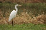 Great White Egret - Grote Zilverreiger