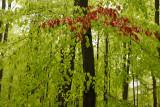 Wieselsche bos