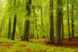 Beech forest, rain - Beukenbos, regen