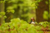 Manderine duck - Mandarijneend