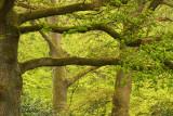 Oak - Wintereik