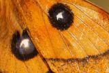 Tauvlinder - Tau Emperor -  Aglia tau