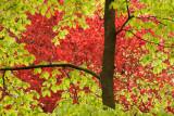 Beech green and red - Beuk, groen en rood