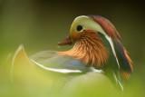 Mandarine duck - Mandarijneend