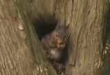 Squirrel- Eekhoorn