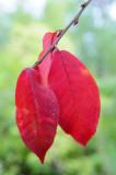 Prunus-padus-leaf.jpg