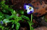 Viola_x_wittrockiana.jpg