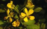 Cordeauxia-edulis_flowers.jpg