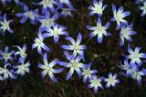Chionodoxa-luciliae.jpg