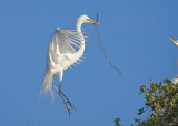 63481 - Great Egret