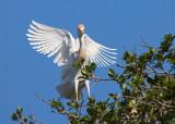63800c - Cattle Egret