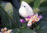 5533 - Moth on a wildflower
