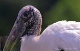 12553 -  Wood Stork