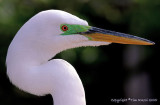 23131 = Great Egret