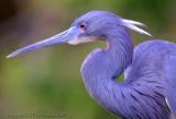 31822c - Tricolor Heron