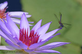 35621b - Dragon fly on Lily