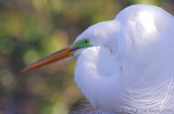 03571C - Great Egret