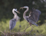 43629 - Great Blue Herons - nest building