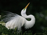 40476 - Great Egret displaying