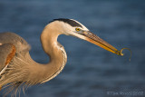 41030 - Great Blue Heron