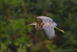 42496c - Tricolor Heron in the rain