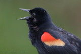 42390c - Red Wing Blackbird