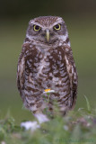 43112 - Burrowing Owl