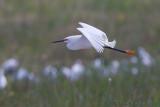 43231c - Snowy Egret