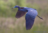 43312 - LIttle Blue Heron in flight
