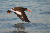 41257c - Oyster Catcher in flight