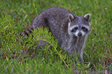 41492c - Raccoon