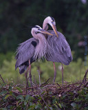 42552c - Great Blue Heron pair