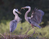 43629E2 - Great Blue Heron nesting pair