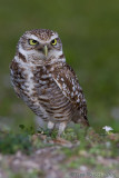 43114  -  Burrowing Owl
