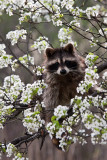 Raccoon in my  garden!