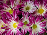 A pink potted mum