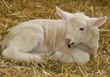 Chloe the lamb