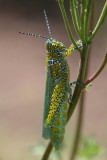 Panther-spotted Grasshopper (Poecilotettix pantherinus)